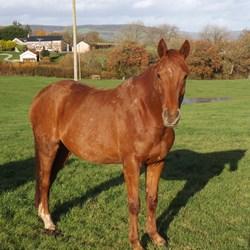Chestnut Horses For Sale. Horse Hunter - photo#18